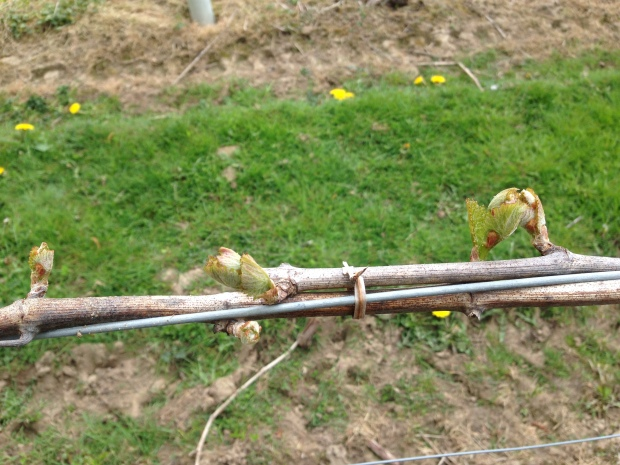 Bud break - eventually shoots will begin to grow from the buds